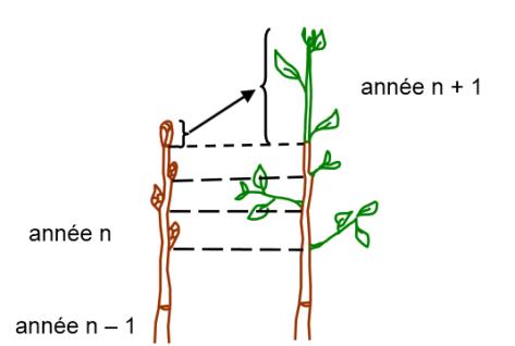 schéma croissance primaire