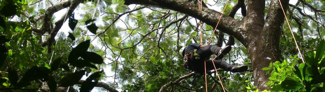 Elagage / Grimpeur aide-scientifiques / Cayenne / ELAGUYANE / Un artisan pour vos arbres